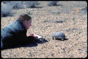 sketching desert tortoise