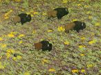 I liked the pattern the Bison created grazing there way up this flowering slope